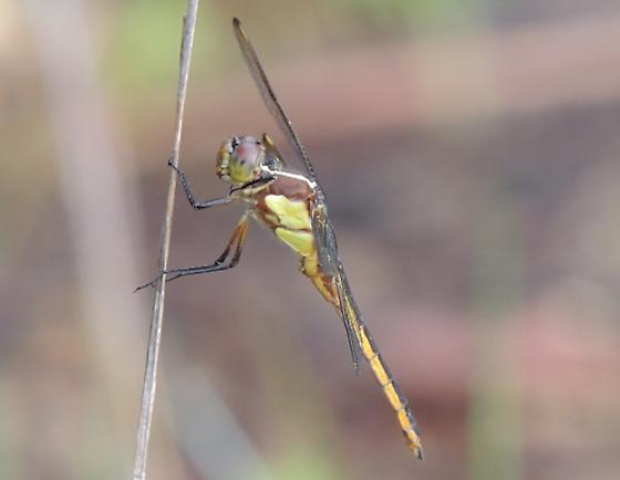 AL - Dragonfly - Libellula flavida