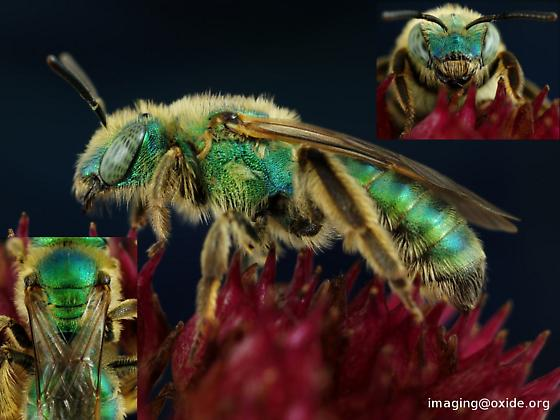 green bee - agapostemon? - Agapostemon texanus - female