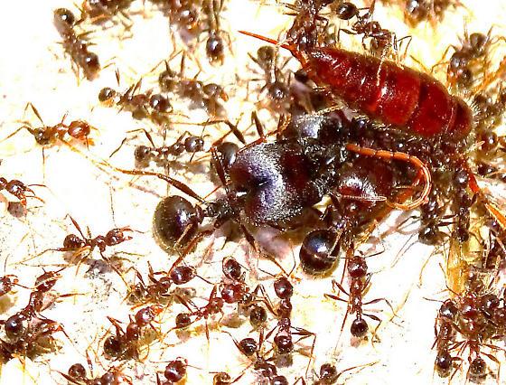 Big-heaaded Ant (Pheidole rhea), Mt Lemmon, AZ, 8-24-14 - Pheidole rhea