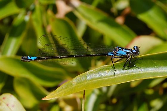 Zoniagrion exclamationis - female