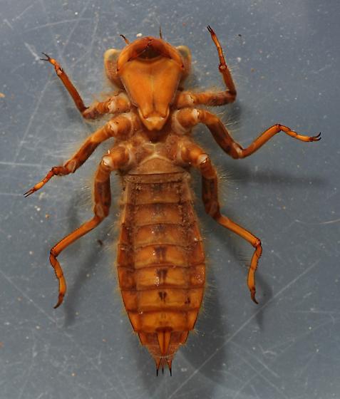 Cordulegaster dorsalis naiad - voucher specimen, in alcohol - Cordulegaster dorsalis