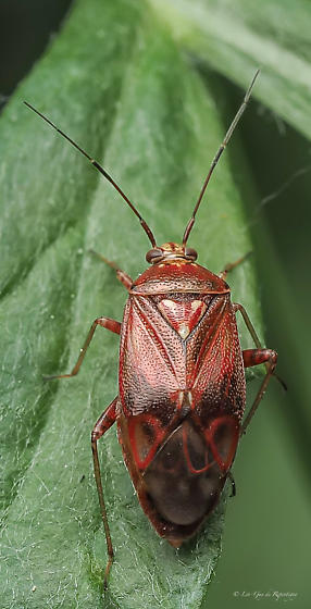 Hemiptera. Miridae.