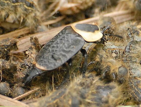 Necrophila americana - Necrophila americana