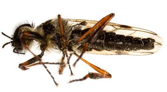 Bibio xanthopus? Male? - Bibio xanthopus - male