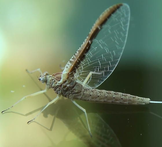 Unknown Mayfly - Callibaetis skokianus - female