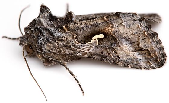 Alfalfa Looper Moth? - Autographa californica