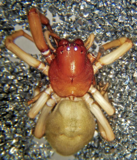 T. pacificus - Trachelas pacificus - female