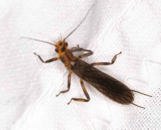 Plecoptera, perhaps Isoperla