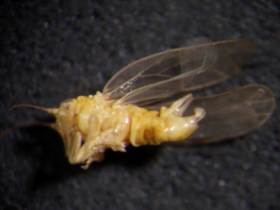 Yellow psillid (?) from brackish marsh - Craspedolepta