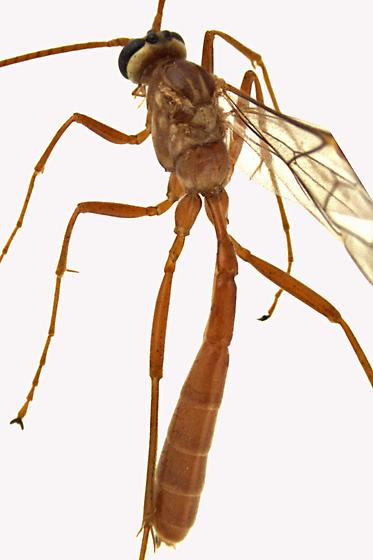 Ichneumon Wasp - Ophion - female