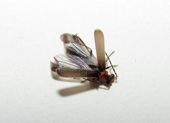 small beetle - Dichelotarsus cinctipennis
