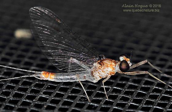 Ephemeroptera - Maccaffertium