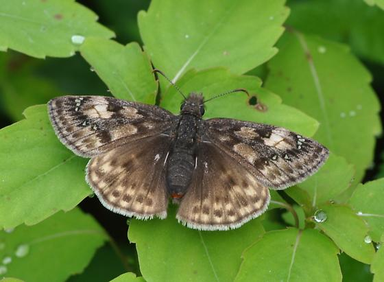 Butterfly - Erynnis juvenalis - female