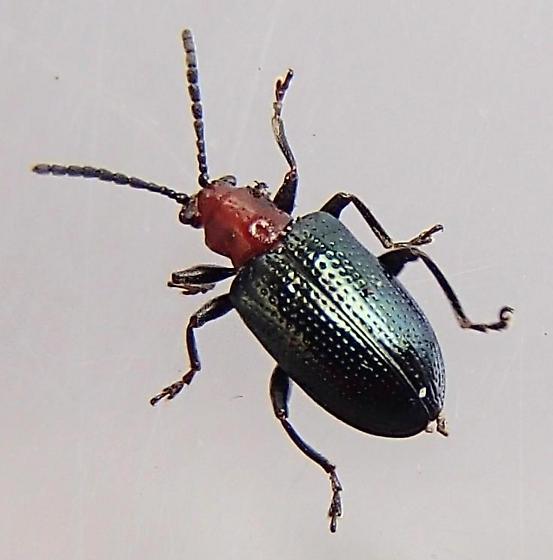 Beetle - Oulema palustris