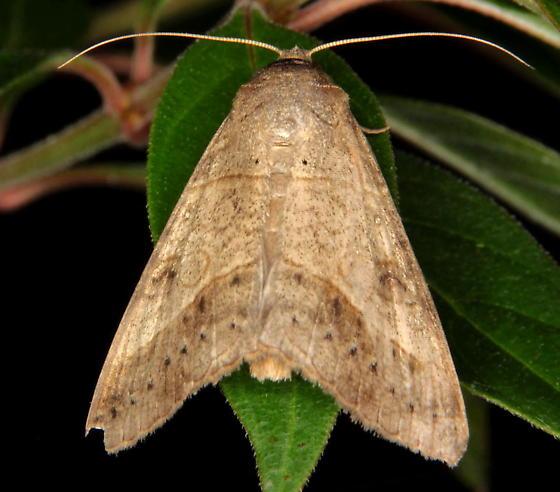 large moth - Mocis latipes