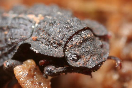 Bolitophagus corticola? - Bolitophagus corticola