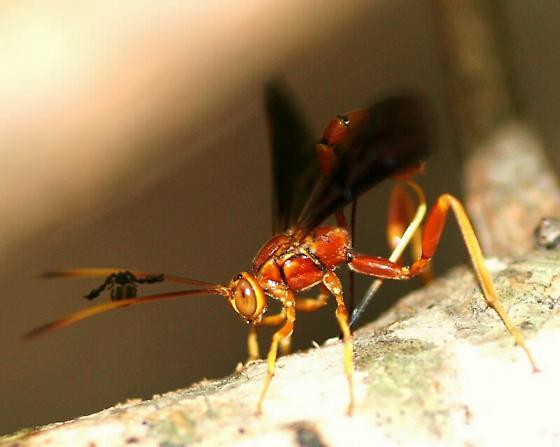Giant Ichneumon and Pseudoscorpion - Labena grallator - female