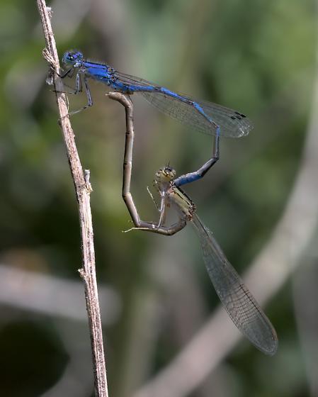 Damselflies (bluets) mating