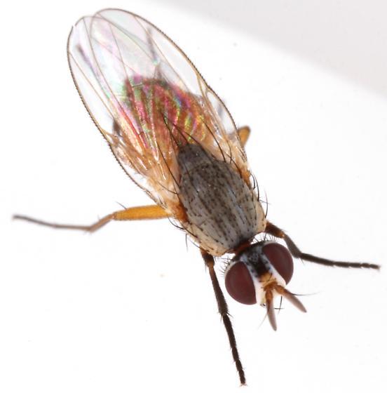 Bermudagrass Stem Maggot? - Atherigona reversura