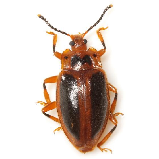 Epipocus cinctus LeConte - Epipocus cinctus