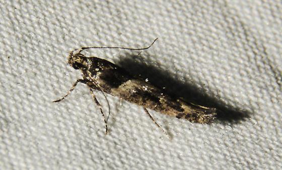 possible Neotelphusa querciella - Neotelphusa querciella