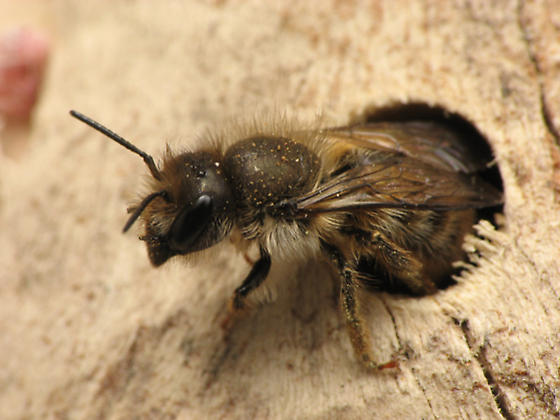 More bees at my bee house - Osmia cornifrons - female