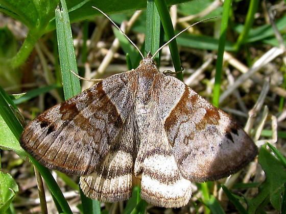 Clover Looper - Caenurgina crassiuscula