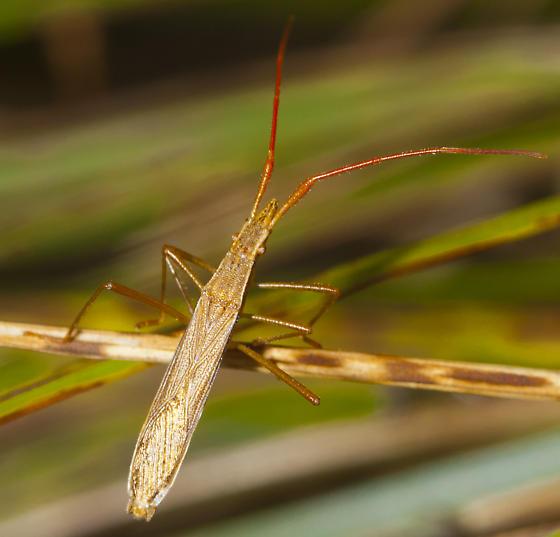 Broad headed bug? - Protenor belfragei