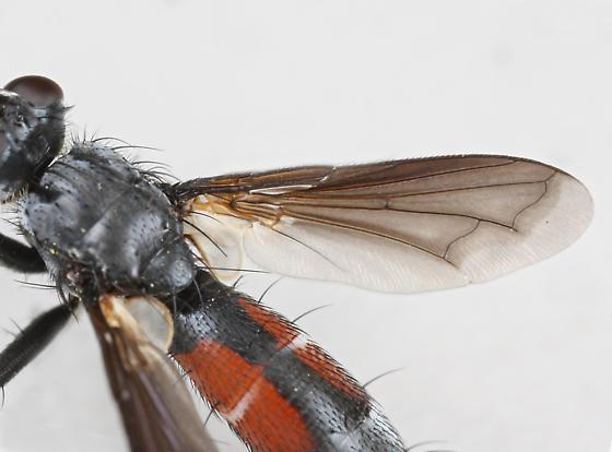 BG2278 E0187 - Cylindromyia