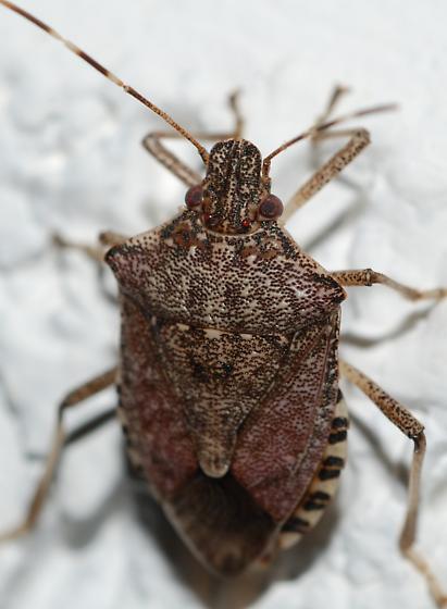 ID Pentatomidae - Halyomorpha halys