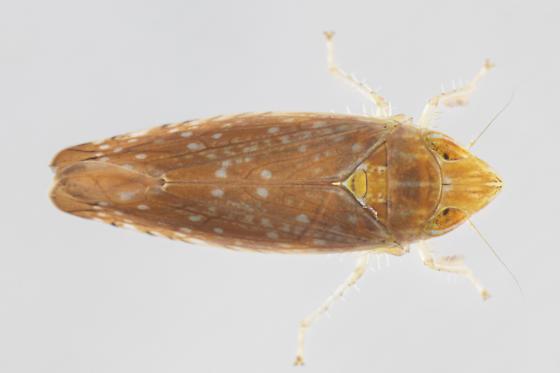 Scaphytopius - female