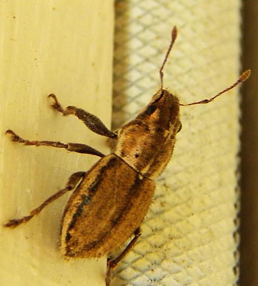 Weevil ? - Naupactus peregrinus