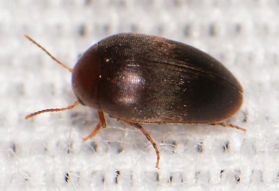 Brown Two Toned Eucinetidae - Eucinetus