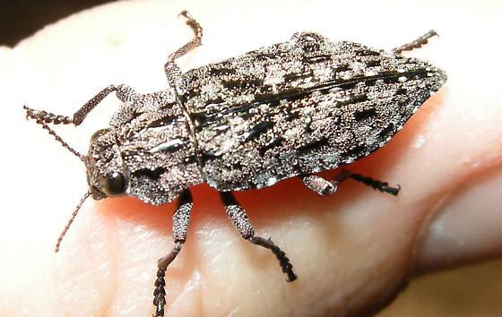 Unknown Beetle - Dicerca crassicollis