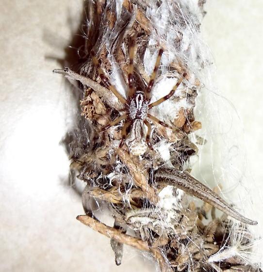 Cobweb spider - Diguetia canities