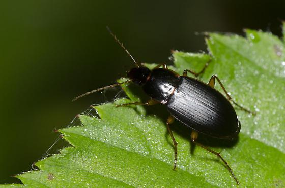 Ground Beetle - Calathus opaculus