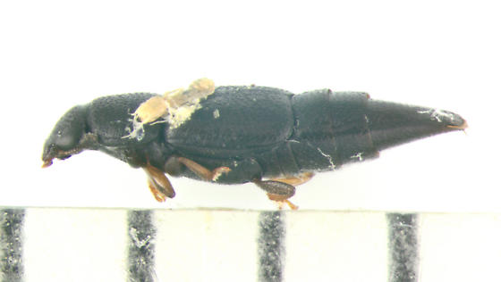 Nitidulidae, lateral - Conotelus