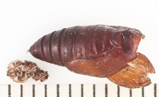 Erebidae, Six-spotted Gray, spent pupa - Spargaloma sexpunctata