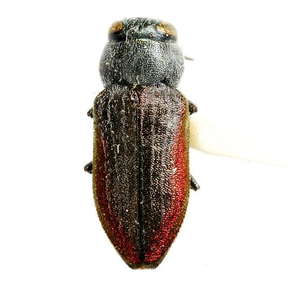 Chrysobothris pubilineata Vogt - Chrysobothris pubilineata