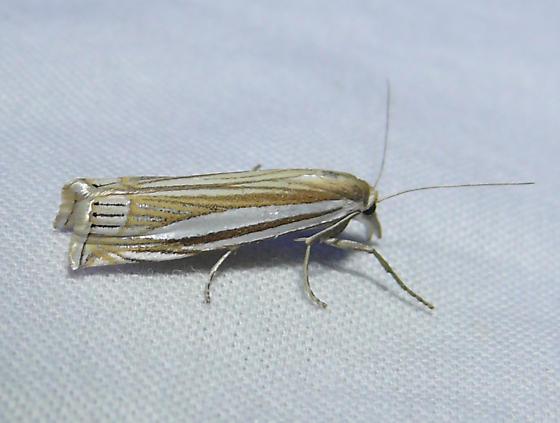 Eastern Grass-veneer - Crambus laqueatellus