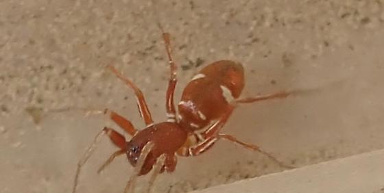I think this is Castianeira - Castianeira - female
