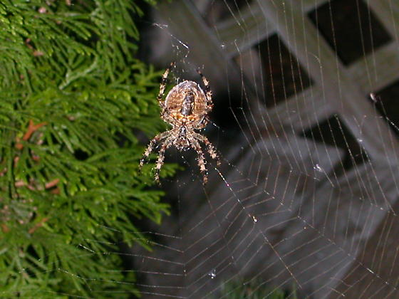 What kind of spider is this? - Araneus diadematus