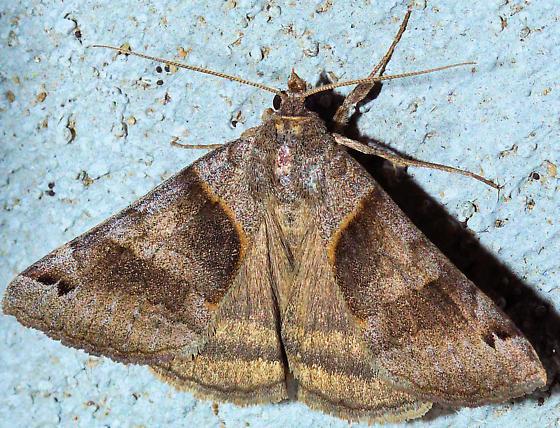 Clover Looper Moth - Caenurgina crassiuscula