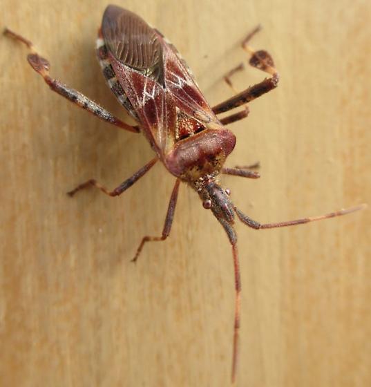 coreid - Leptoglossus occidentalis