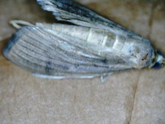 Pond drive leaf tier on Saururus cernuus D2704 adult 2020 4 - Patania silicalis - female