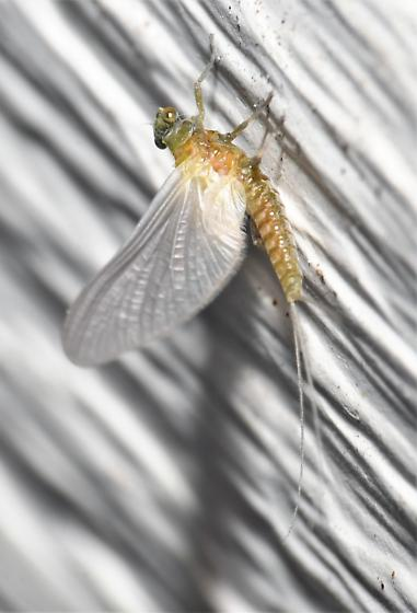 Tsalia berneri  - Tsalia berneri - female