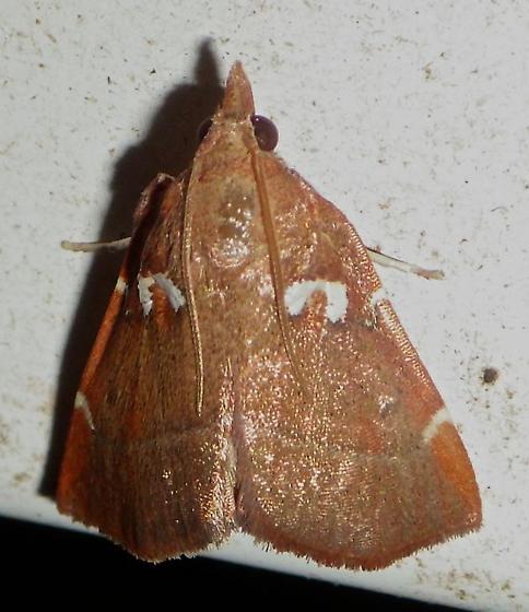 5550 – Lepidomys irrenosa - Lepidomys irrenosa