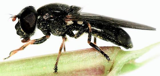Syrphid Flies Cheilosia species - Cheilosia