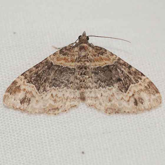 Xanthorhoini - Xanthorhoe ferrugata - female