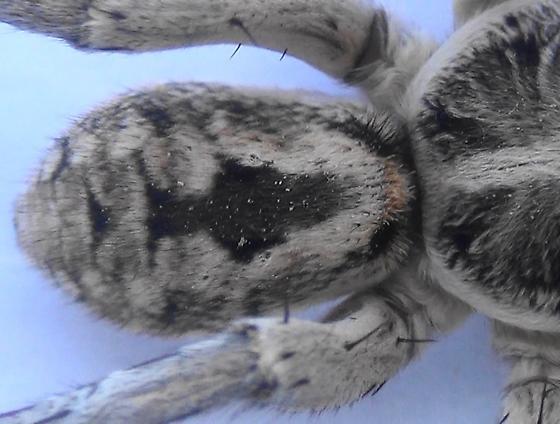 Night Stalker (dorsal abdomen) - Hogna carolinensis - male